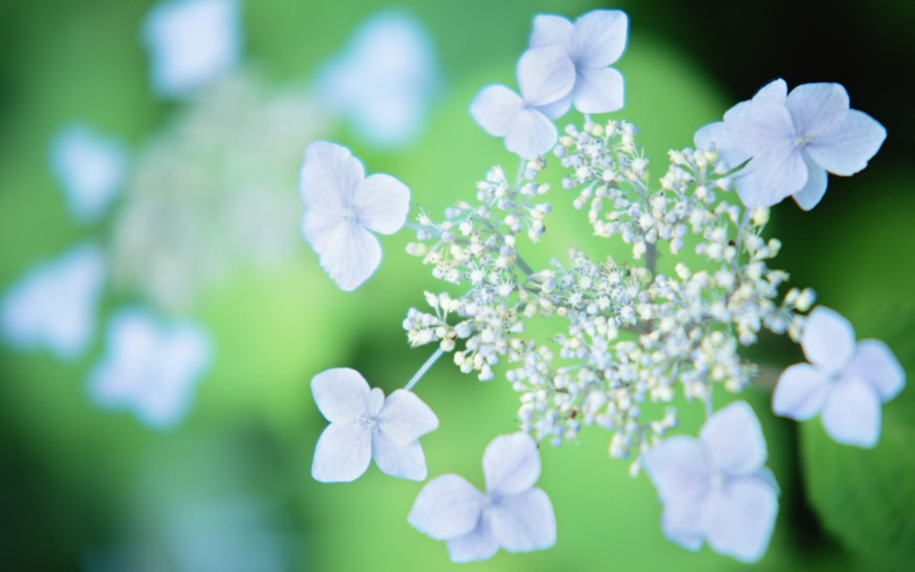 hd-white-flowers-for-dekstop-1024x640